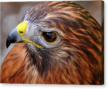 Red-tailed Hawk Close Up Canvas Print