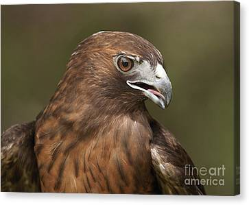 Canvas Print featuring the photograph Red-tailed Hawk by Doug Herr