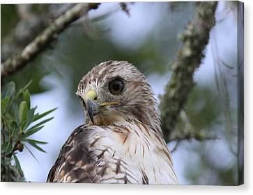 Red-tailed Hawk Has Superior Vision Canvas Print by Travis Truelove