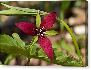Canvas Print featuring the photograph Red Trillium by Les Palenik