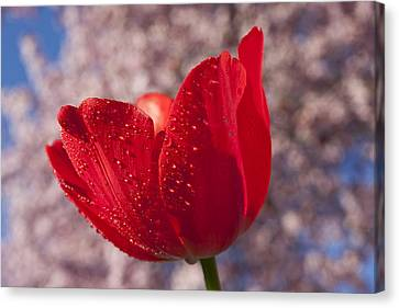Red Tulip And Cherry Tree Canvas Print by Garry Gay