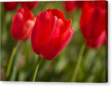 Red Tulip Canvas Print by Denis Lemay
