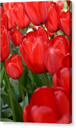 Red Tulips Close Up Canvas Print