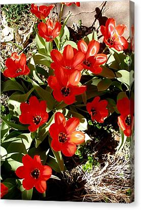 Canvas Print featuring the photograph Red Tulips by David Pantuso