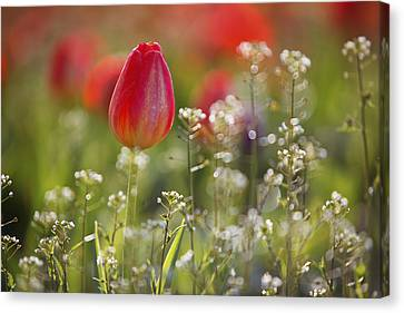 Red Tulips Growing With Sprigs Of Small White Flowers At Wooden Shoe Tulip Farm Canvas Print by Design Pics / Craig Tuttle