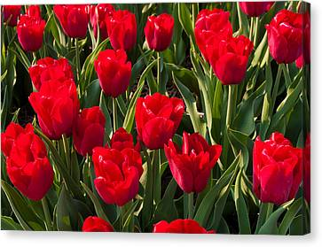Red Tulips Canvas Print by Hans Engbers