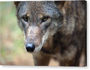 Red Wolf Closeup Canvas Print by Karol Livote