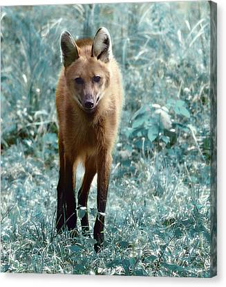 Canvas Print featuring the photograph Red Wolf by Raymond Earley