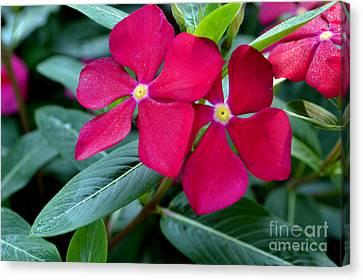 Red Woodland Phlox Flowers Canvas Print by Eva Thomas