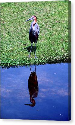 Reddish Egret  Canvas Print by Michelle Harrington