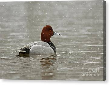 Redhead Duck In Winter Snow Storm Canvas Print by Inspired Nature Photography Fine Art Photography