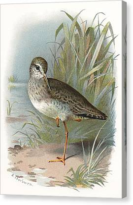 Redshank, Historical Artwork Canvas Print