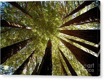 Canvas Print featuring the photograph Redwood Canopy by Johanne Peale