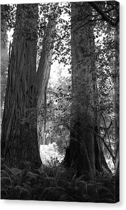 Redwood Pair Canvas Print by Kathleen Grace