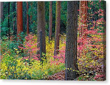 Redwoods And Dogwoods Canvas Print by Tim Fleming