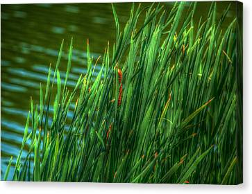 Reed Amoung Grass Canvas Print by Ronald T Williams