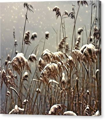 Reed In Snow Canvas Print by Joana Kruse