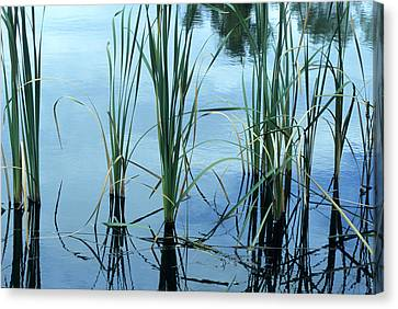 Reeds In The Water Canvas Print by John Brink
