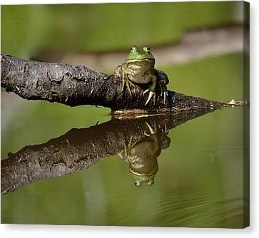 Reflecktafrog Canvas Print by Susan Capuano