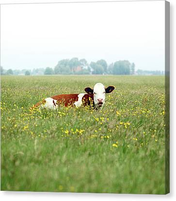 Resting Cow In  Field Canvas Print by MarcelTB