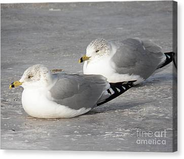 Resting On The Ice Canvas Print by Judy Via-Wolff