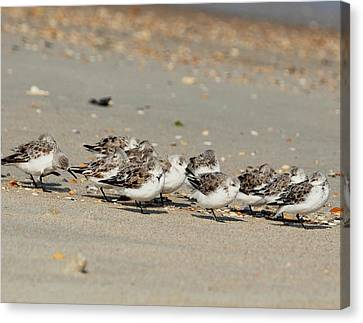 Resting Sandpipers Canvas Print