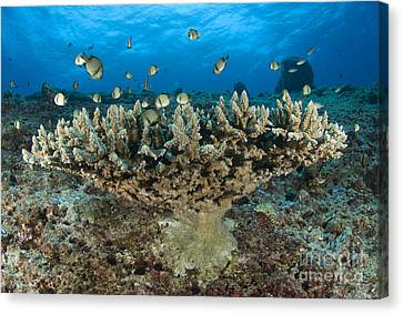 Reticulate Humbugs Gather Under Stone Canvas Print by Steve Jones