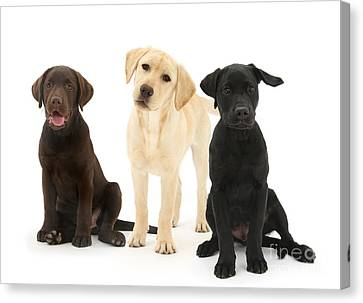 Retriever Pups Of Every Color Canvas Print by Mark Taylor