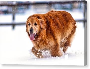 Retriever Running In Snow Canvas Print by Matt Dobson