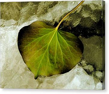 Reverse Ivy Canvas Print by Beth Akerman