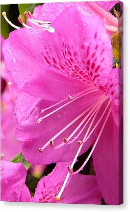 Rhododendron Flower Canvas Print by Manuela Constantin