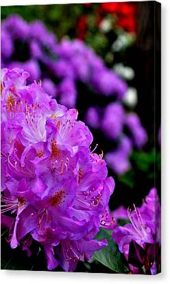 Canvas Print featuring the photograph Rhododendron  by Puzzles Shum