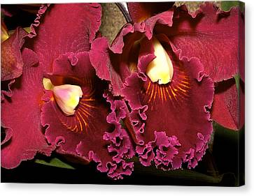 Rich Burgundy Orchids Canvas Print by Phyllis Denton