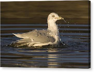 Ring Billed Gull  In Breeding Plumage Canvas Print