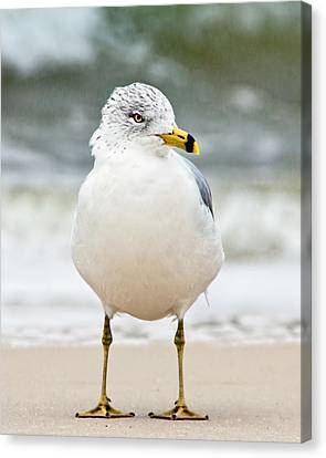 Ring-billed Gull Canvas Print by Susi Stroud