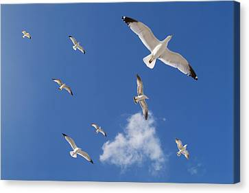 Ring Billed Gulls Overhead Canvas Print