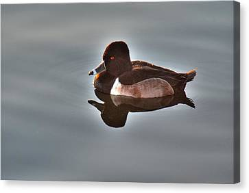 Canvas Print featuring the photograph Ring-necked Duck by Tam Ryan