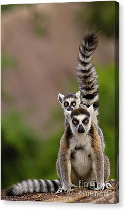 Ring-tailed Lemur Lemur Catta Mother Canvas Print by Pete Oxford