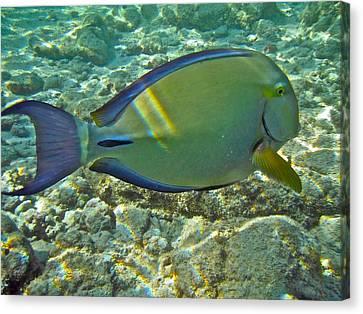Ringtail Surgeonfish Canvas Print