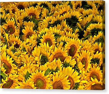 Canvas Print featuring the photograph Riotous Sunflowers by Nancy De Flon