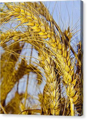 Ripe Barley Canvas Print by Daniel Blatt