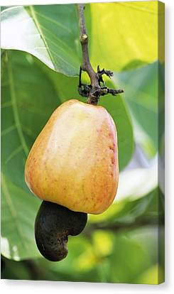 Ripe Cashew Nut Canvas Print by David Nunuk