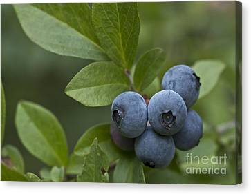 Produce Canvas Print - Ripe For The Picking by Kim Henderson
