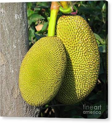 Ripe Jackfruits Canvas Print by Yali Shi