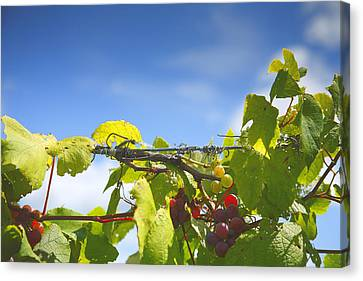 Ripening On The Vines Canvas Print by Steven Ainsworth