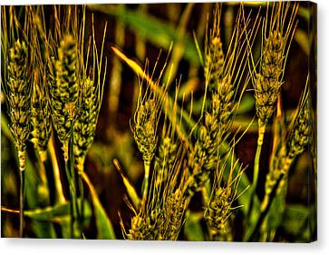 Ripening Wheat Canvas Print by David Patterson