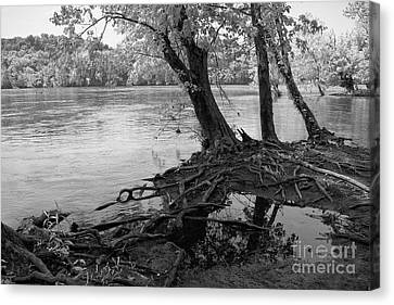 River-washed Roots Canvas Print by Susan Isakson