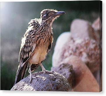 Road Runner Canvas Print by Chelsey Beck