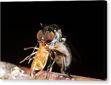 Robber Fly Feeding On A Cockroach Canvas Print