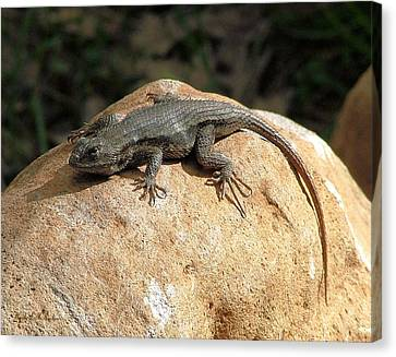 Canvas Print featuring the photograph Rock Lizard by Wendy McKennon
